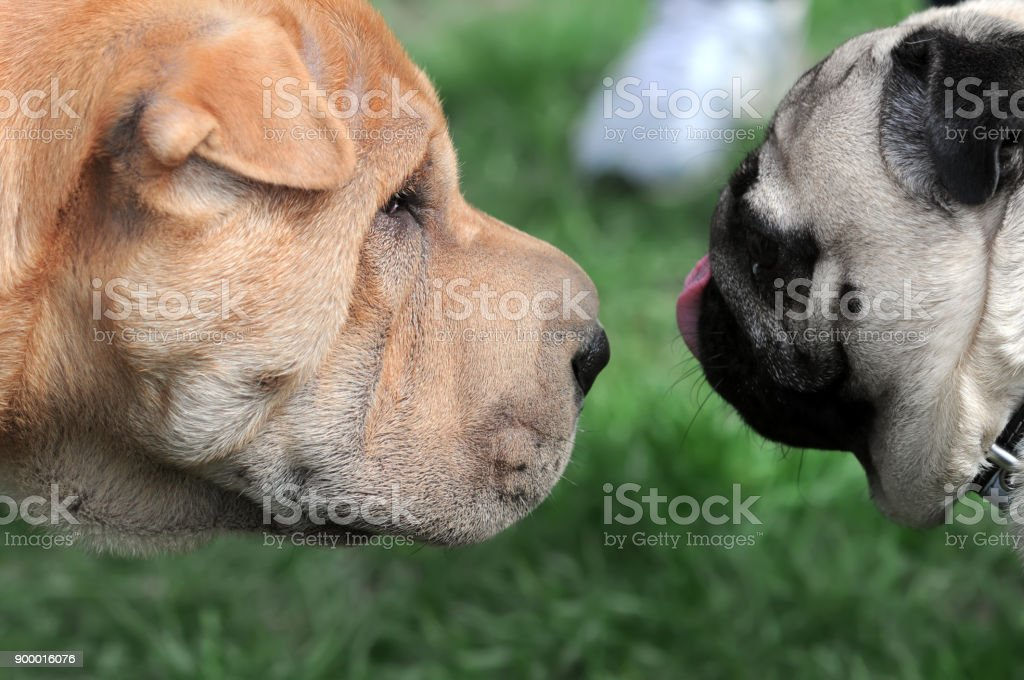 dogs  meeting stock photo