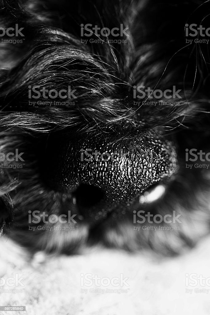 Dog's nose close up royalty-free stock photo