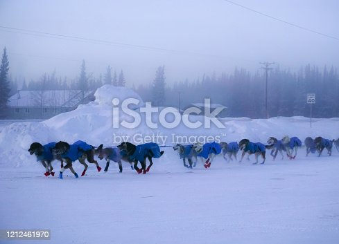 Glennallen, Alaska, USA, January 11, 2020: Dogs of The Sled - Copper Basin 300 - Dogsled dogs have been putting in many hours In preparation for this moment. All the practice time is now a reality as the dogs make their way down the trail. They must work together as a team  Despite the frigid temperatures, of 50 below, the dogs are excited and electrified.  The winners will be the ones who worked together and are successful.
