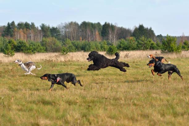 楽しい訓練中の犬 - poodle run ストックフォトと画像