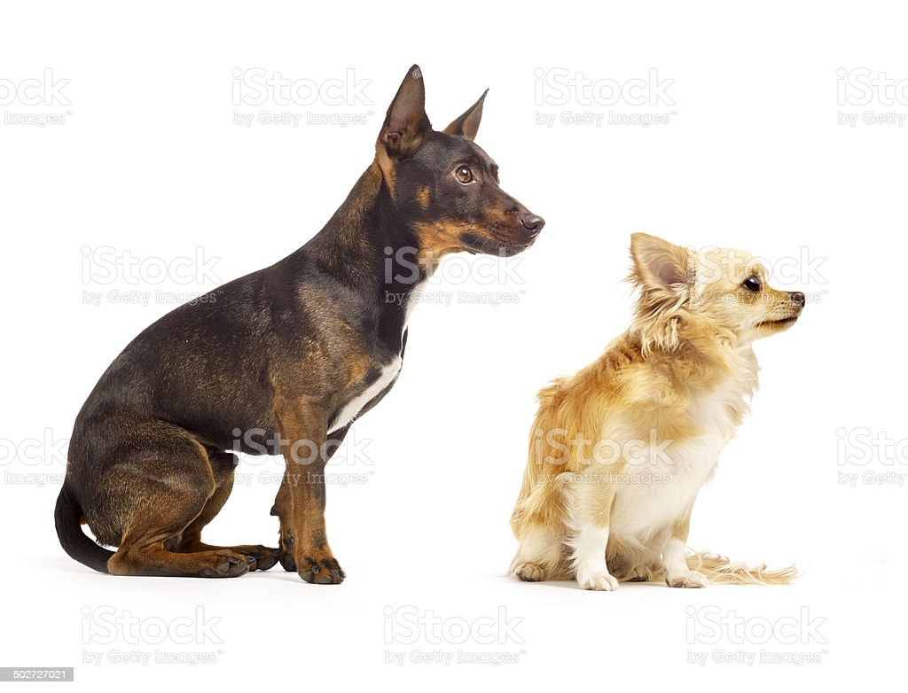dogs on a white background stock photo