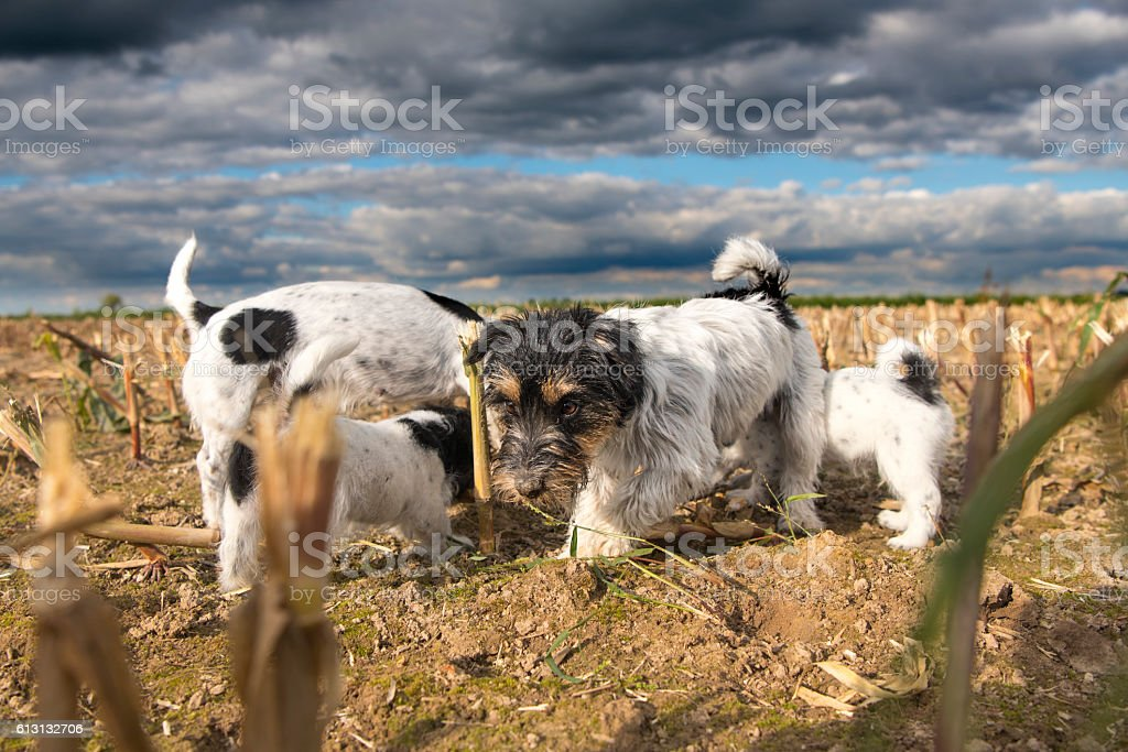 Dogs on harvested corn field in front of storm clouds stock photo