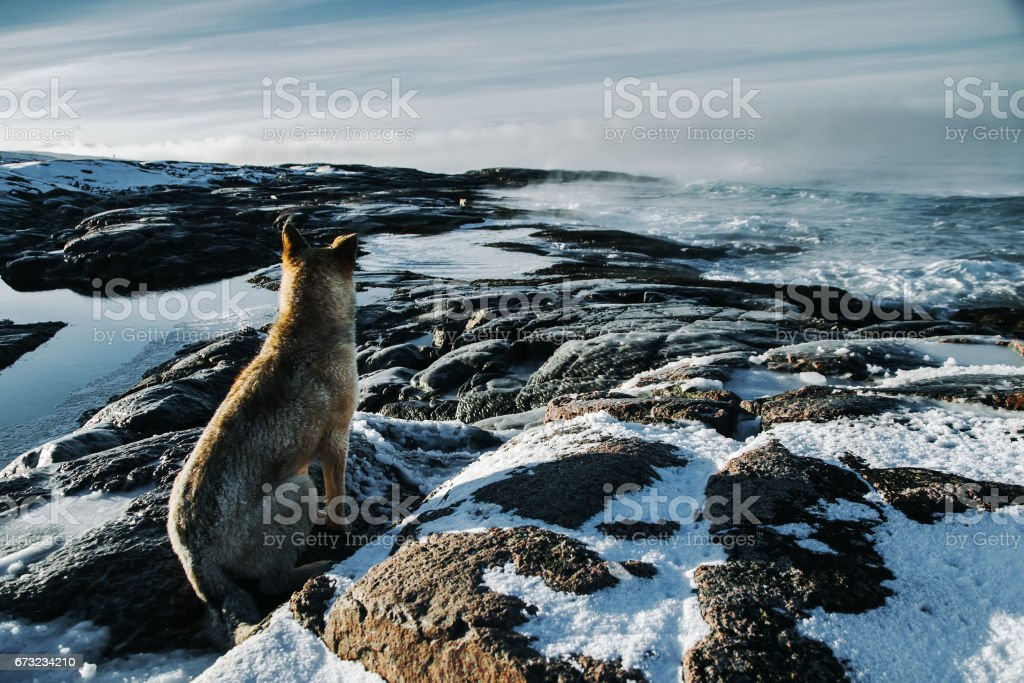 Dogs on northshore at Barents Sea in Arctic Ocean stock photo