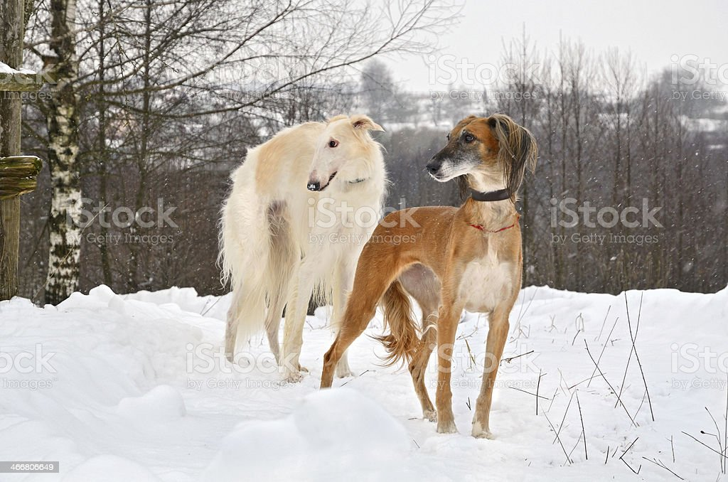 Dogs on snow stock photo