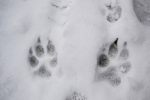 Dogs paw prints in the snow during winter time stock photo