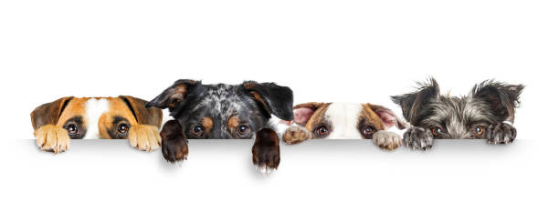 Dogs Peeking Eyes and Paws Over White Web Banner stock photo