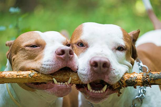 hunde - pitbull welpen stock-fotos und bilder