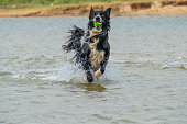 A Border Collie dog plays with a ball in the water at the beach for fun.