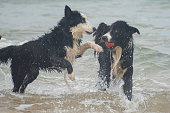 Two Border Collie dogs play with a red ball in the water at the beach for fun.