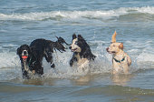 Two Border Collies and a golden labrador play with a red ball in the water at the beach for fun.