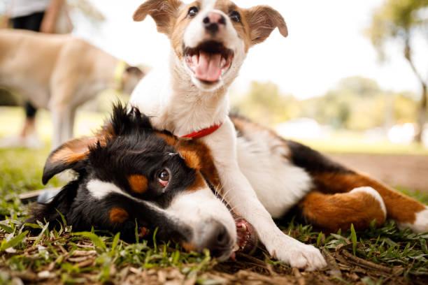 Dogs playing at public park picture id1210828938?b=1&k=6&m=1210828938&s=612x612&w=0&h= sr6q2soggtj1u5k3dh3 dva0yxths2tj5 unovebyo=