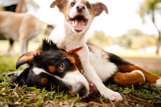Dogs playing at public park stock photo