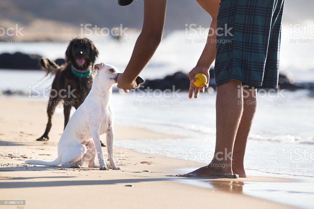 Hunde spielen Kugel am Strand im Sommer. Lizenzfreies stock-foto