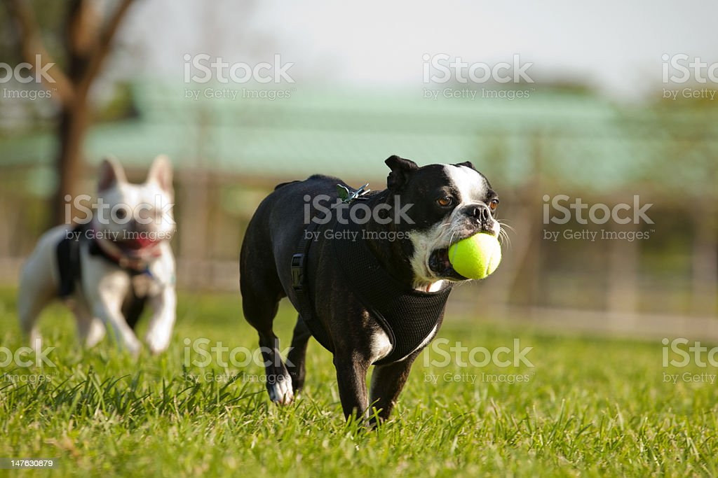 Dogs Playing Fetch - French Bulldog stock photo