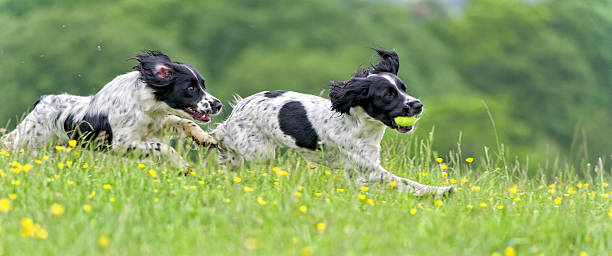 Dogs playing fetch in a field of grass​​​ foto