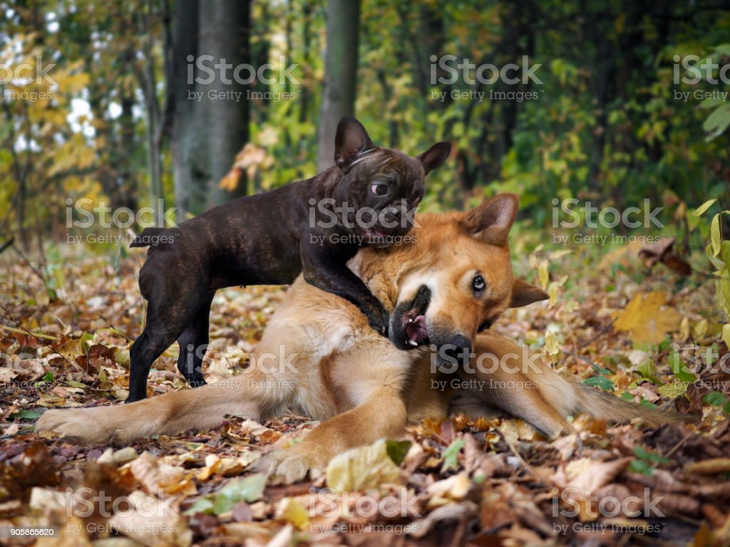 Dogs playing in the autumn forest stock photo