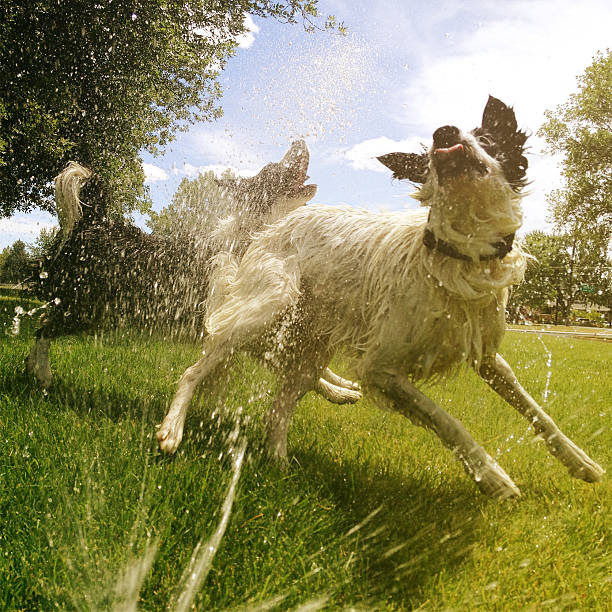 Dogs Playing In The Sprinkler Stock Photo - Download Image Now ...