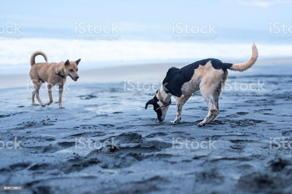 Dogs playing on the beach in Varkala stock photo
