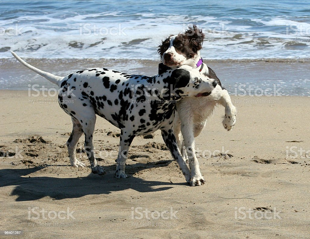 Dogs playing on the beach - Royalty-free Animal Stock Photo