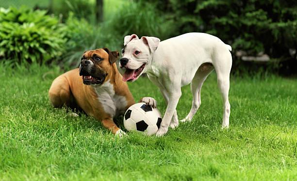 psy gry - bokser pies zdjęcia i obrazy z banku zdjęć