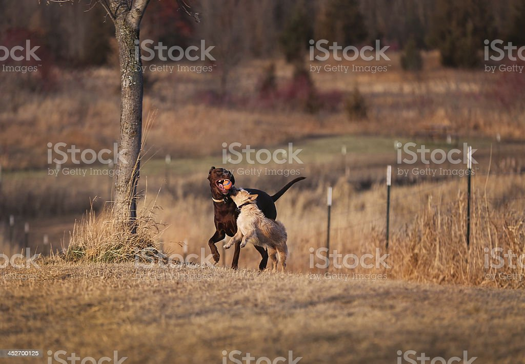 Dogs Playing royalty-free stock photo