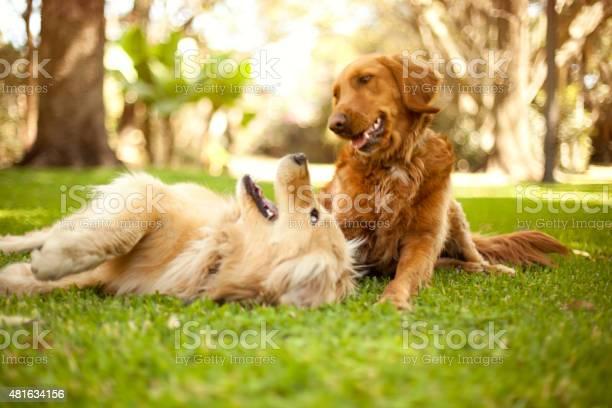 Dogs playing picture id481634156?b=1&k=6&m=481634156&s=612x612&h=82vnqrydhiem5pyzylckqjdy6h93wmfhitbg itz4km=