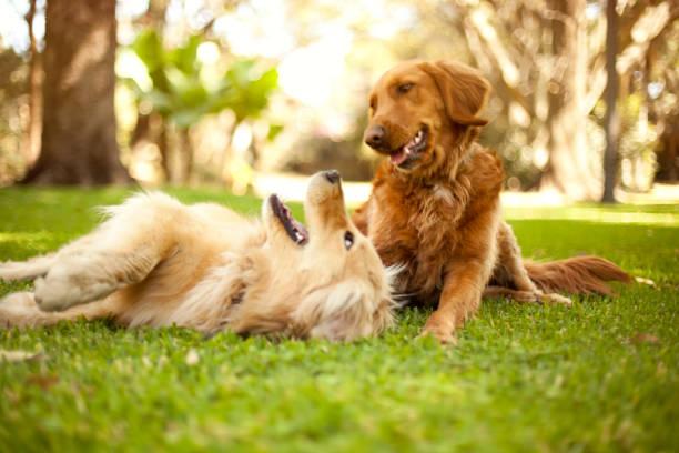 Dogs playing picture id481634156?b=1&k=6&m=481634156&s=612x612&w=0&h=s5y mq8g8sq j8k8hvvuleno5 x6bce c6b3bed4yvi=