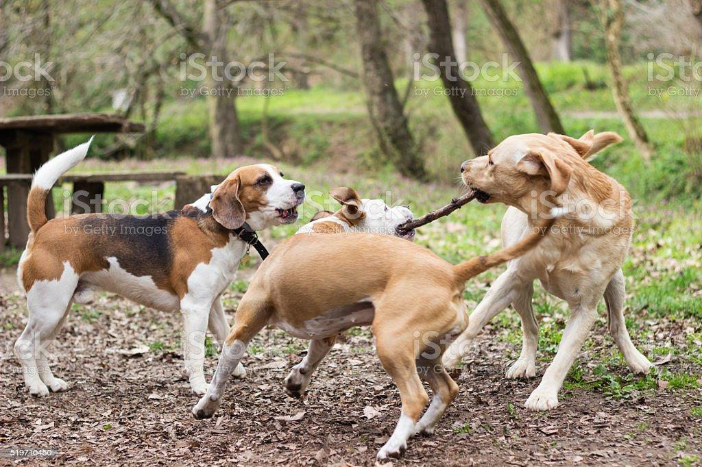 Dogs playing tug stock photo