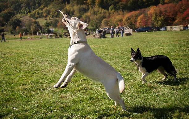 Dogs playing with a stick picture id173761498?b=1&k=6&m=173761498&s=612x612&w=0&h=3mpjpgwfjxribwpb1s1smzi4lv5j4xjtgliumb6uyoq=