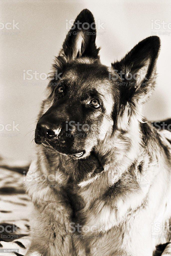 Dog's portrait royalty-free stock photo