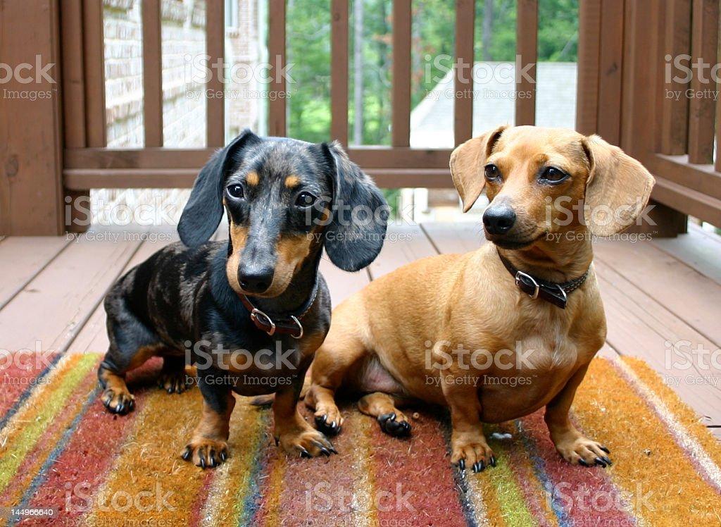Dogs Posing royalty-free stock photo
