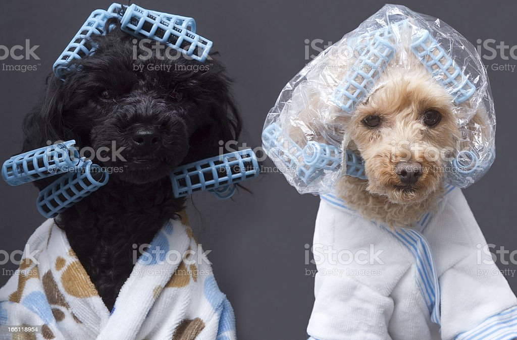 Dogs Ready To Be Beautified stock photo