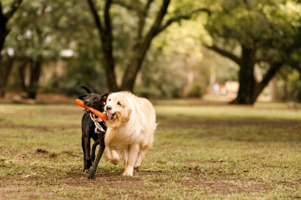 Dogs running and holding a toy at park stock photo