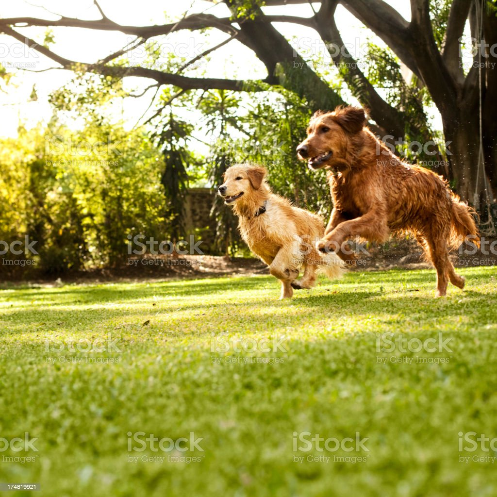 Dogs running in field stock photo