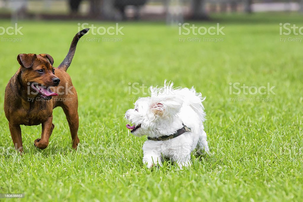 Dogs running in the park royalty-free stock photo