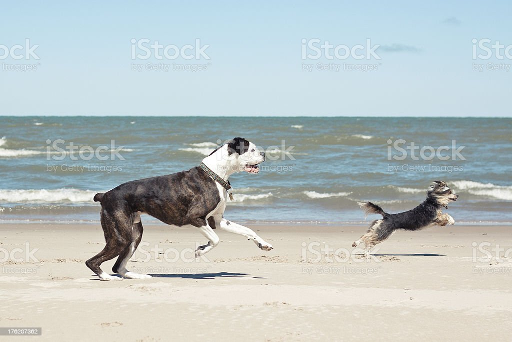 A pure-bred boxer and a chinese crested are running on the Lake...