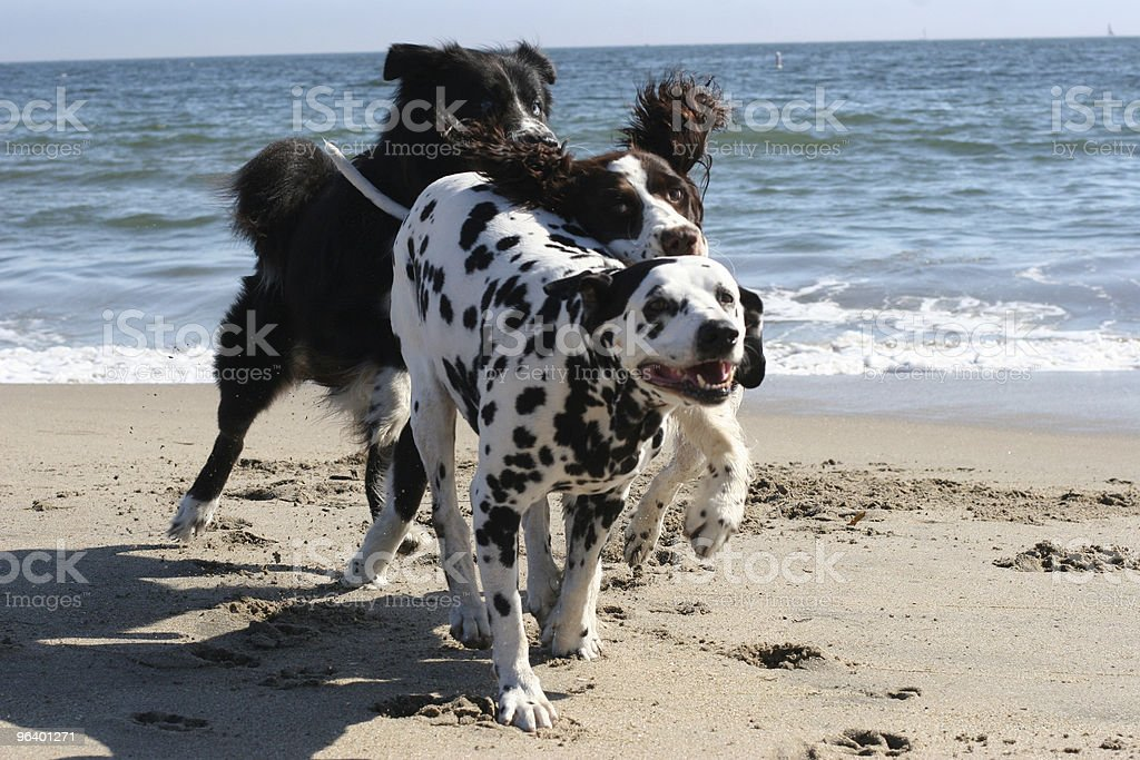 Dogs running on the beach - Royalty-free Animal Stock Photo