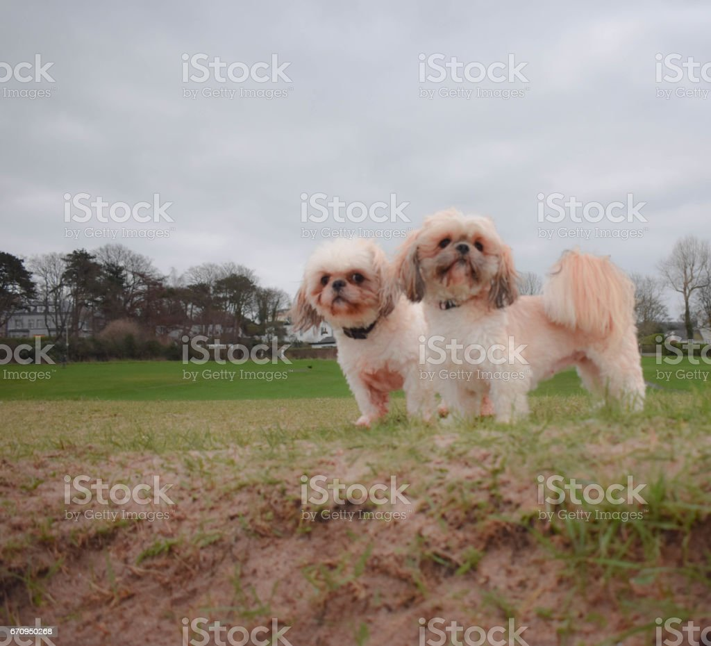 2 Dogs standing face on stock photo