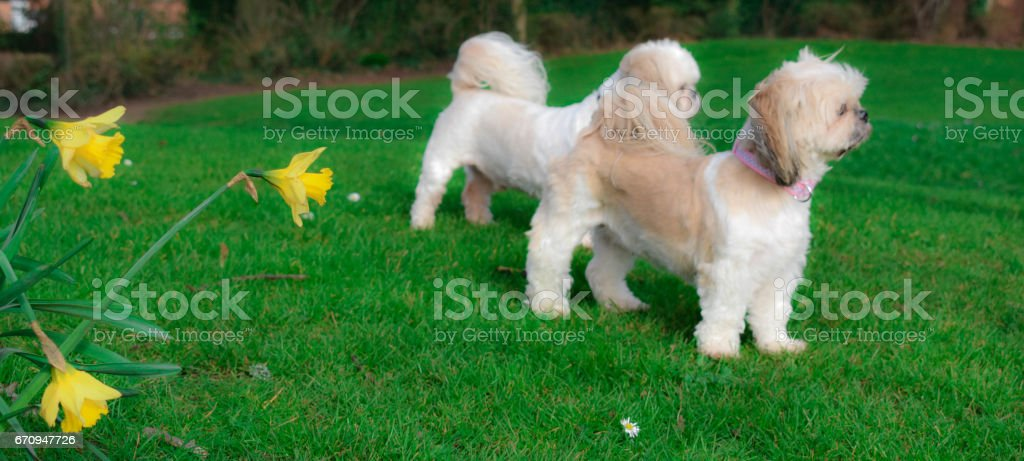 Dogs standing in a field Shih Tzu stock photo