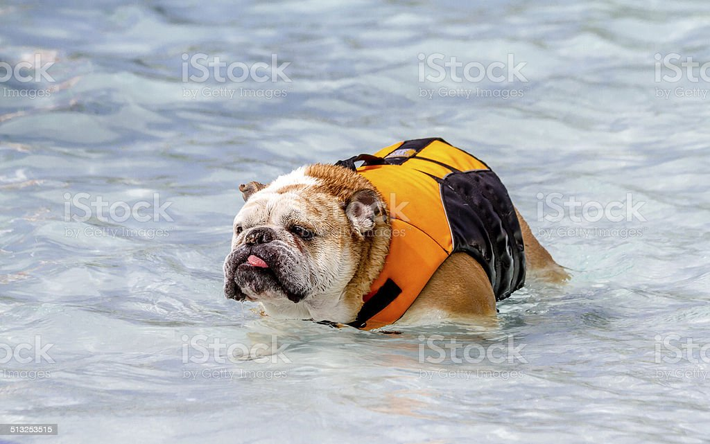 Dogs Swimming in Public Pool stock photo