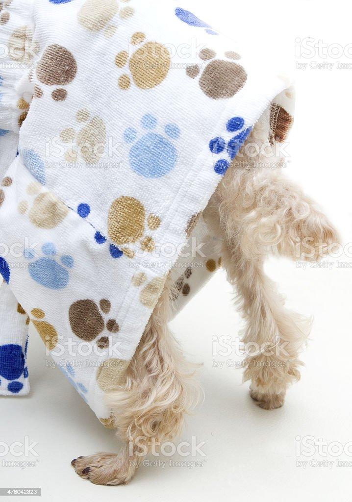 Dog's Tail Under Bathrobe royalty-free stock photo