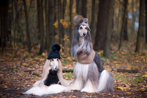 istock Dogs, Two funny, very cute Afghan hounds hats and scarves on the background of the forest, women of fashion, beauty. Concept clothes, fashion for dogs 1151773324