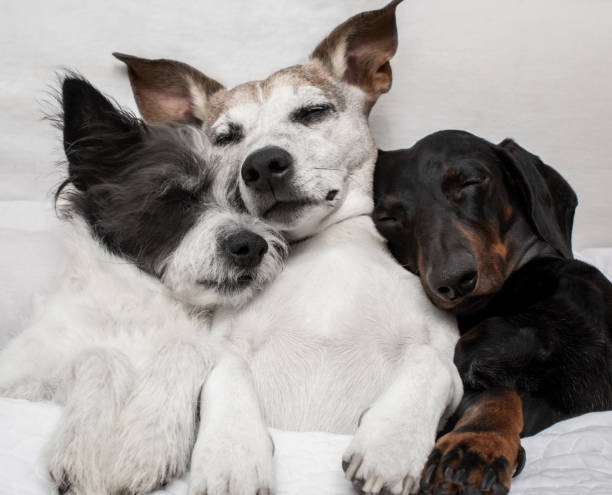 dogs under blanket cuddling and cozy together stock photo