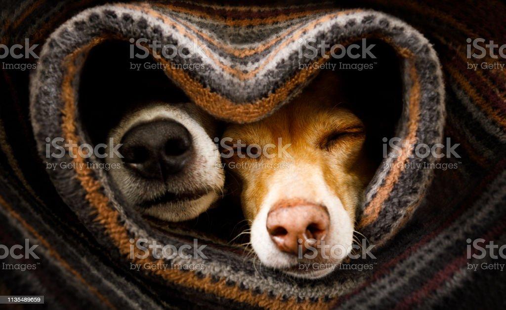 狗在毯子下在一起 - 免版稅一起圖庫照片