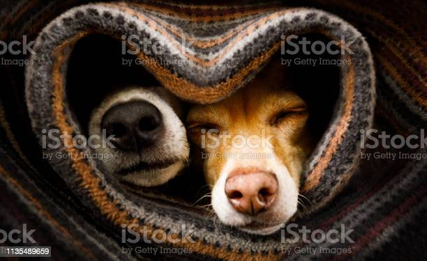 Dogs under blanket together picture id1135489659?b=1&k=6&m=1135489659&s=612x612&h=qpmky4p0gxk0e4r c3vaxlktrxkua rshyjaah1ewz0=