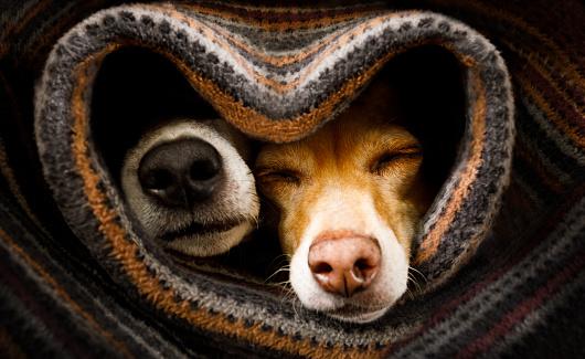 狗在毯子下在一起 照片檔及更多 一起 照片