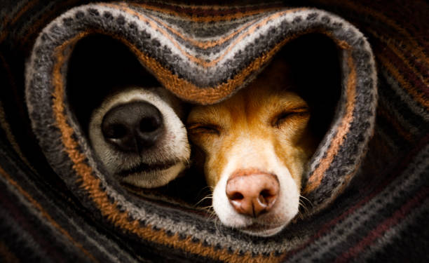 dogs under blanket together couple of dogs in love sleeping together under the blanket in bed in heart form,  warm and cozy and cuddly amor stock pictures, royalty-free photos & images