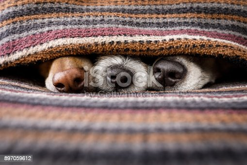 istock dogs under blanket together 897059612