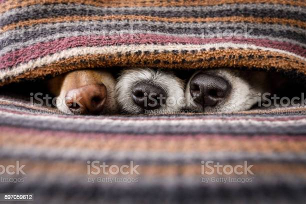 Dogs under blanket together picture id897059612?b=1&k=6&m=897059612&s=612x612&h=8d0d8pim cqpzv6ygamliuggq0g6r1ipha vzjvqcea=