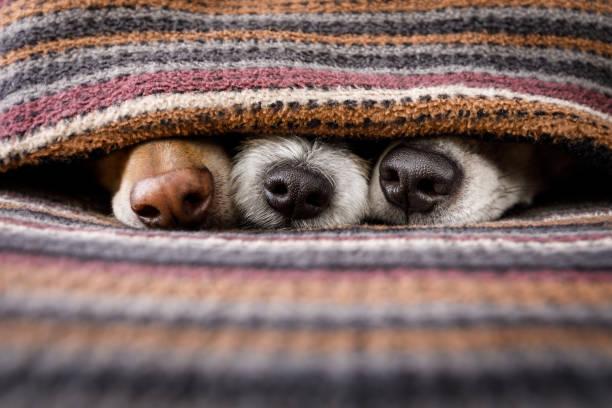 Dogs under blanket together picture id897059612?b=1&k=6&m=897059612&s=612x612&w=0&h=q0zerylptewh 6z4gqxfbiznse7pz99utse2f3fcicq=